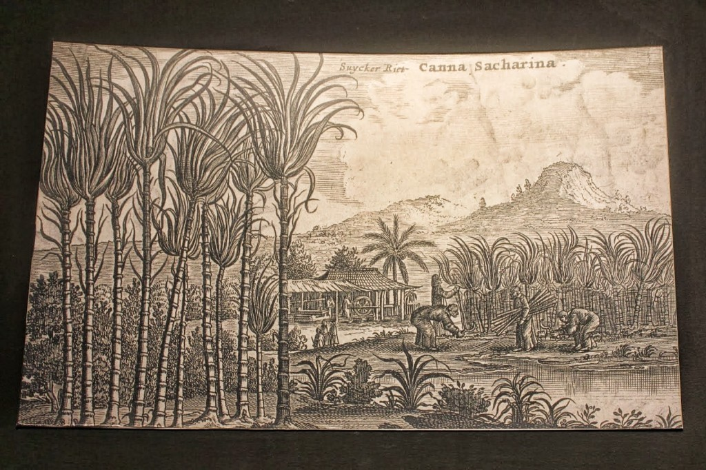 A drawing of the Sugarcane plants on mauritius