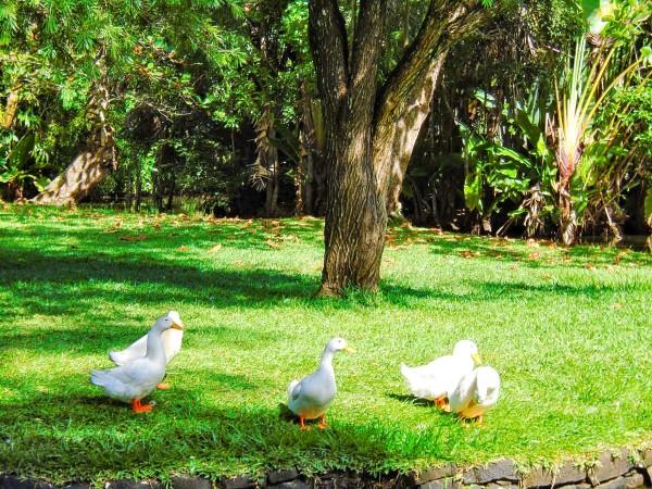 ducks on a grass field