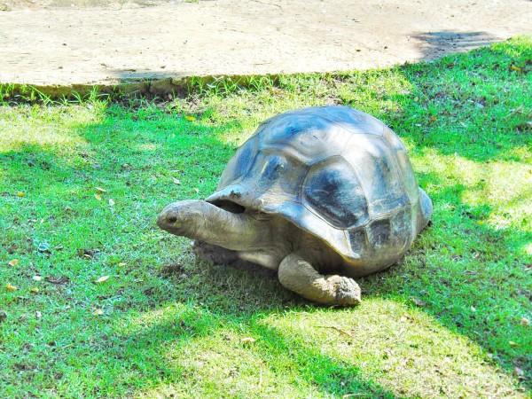 giant tortoise walking through grass